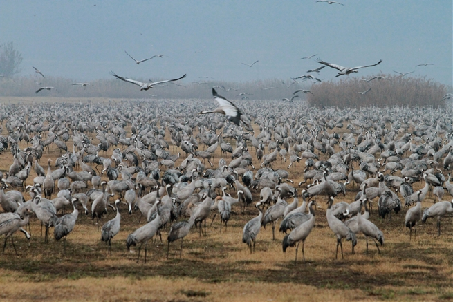 Cranes in Ahula valley, northern Israel, December 2016