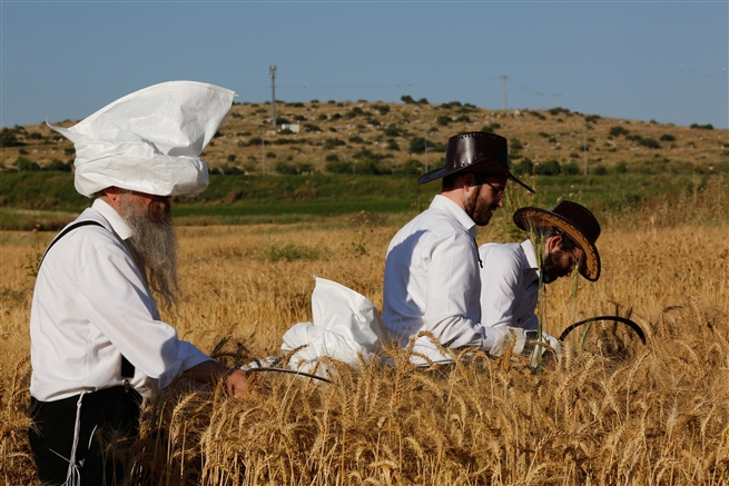 Ultra-Orthodox Jews harvest wheat in a field near Modi'in, May, 2019.