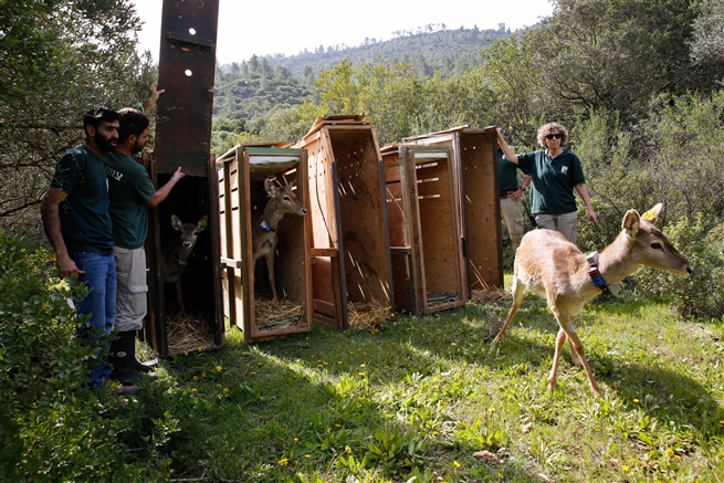 veterinarian of Jerusalem's Biblical Zoo, releases a Persian fallow deer at the hills of Jerusalem February, 2019