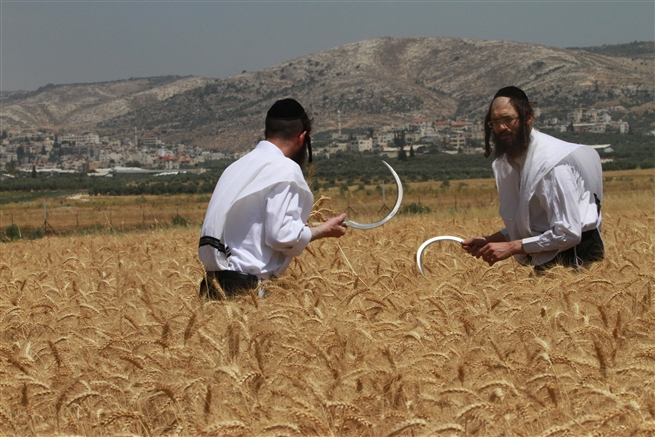 Ultra-Orthodox men harvest wheat for shmura matza, May, 2016